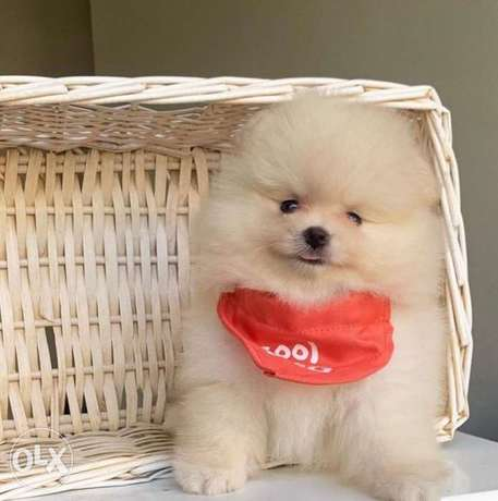 Teacup pomeranian puppies.. Males and females