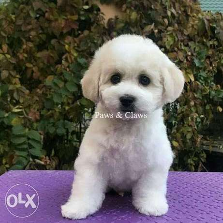 Bichon Frize puppies