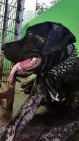 Big Brindle Dog for Crossing (Stud)