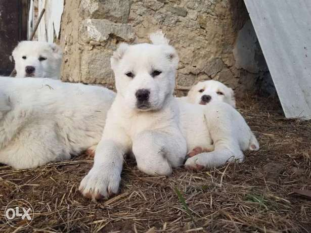 Alabai Puppies Imported from Ukraine Available Now