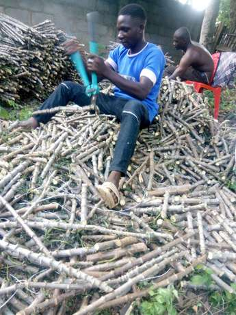 Buy Your Cassava Stem (Vit. A, TME419,TMS30572) from Walimglobal Farm Ido - image 7