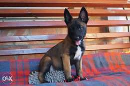 Imported Malinois Puppies.. Top quality.. Fci pedigree