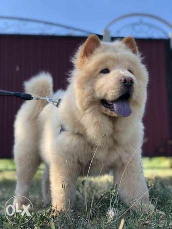 Amazing CHOW CHOW Top Quality Best price Full documents