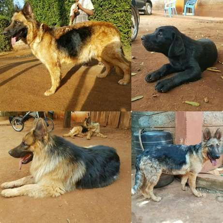 Long coat GSDs AND Labrador Retriever Kamiti - image 1