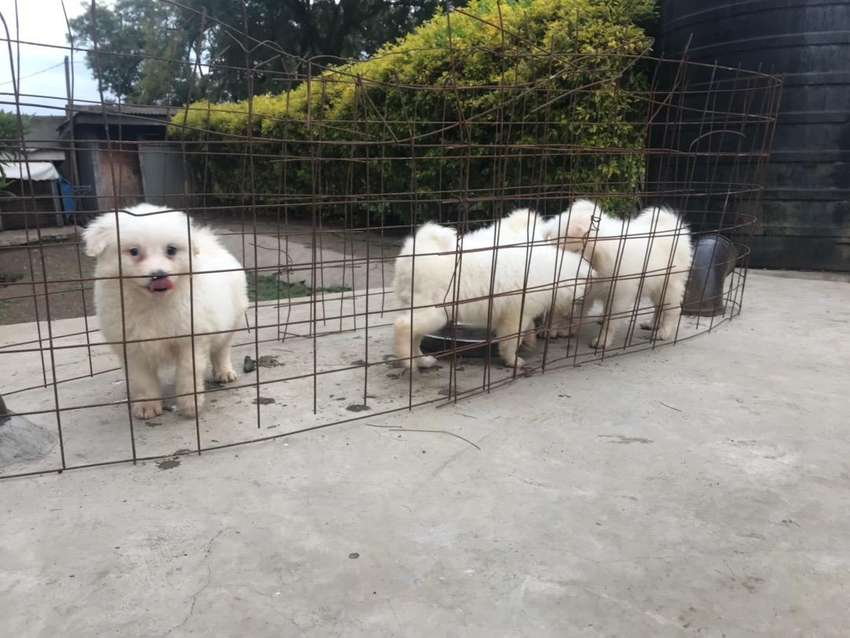 Japanese Spitz Puppies Dogs Cats 1051038061 Olx