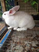 2 Giant Rabbits for sale