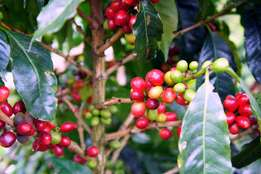 1425 acres coffee farm ruiru-githunguri rd at 9m per acre.