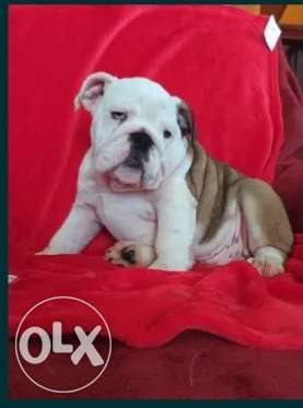 Imported English bulldog puppies top quality from Ukraine with all doc
