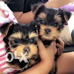 Healthy Yorkie Puppies Available