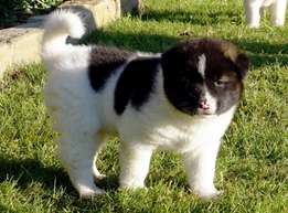 Available Akita for sale