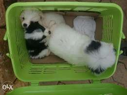 Terrier white pet puppies. Must have cuteness