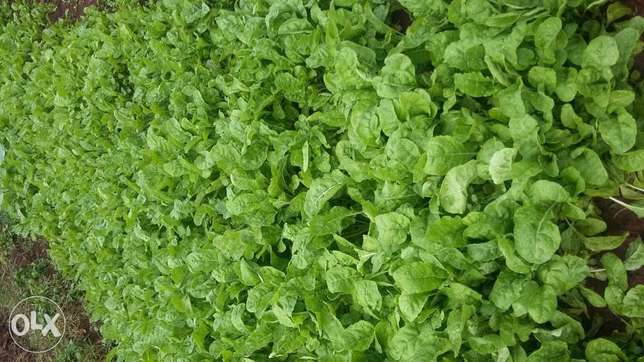 Spinach seedlings on sale Kikuyu T-Ship - image 2