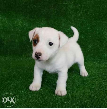 Jack Russell Puppies, imported, top quality with Pedigree
