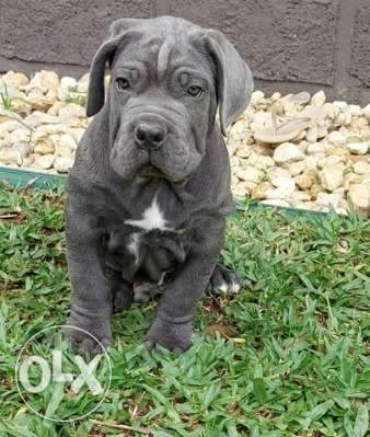 Amazing Cane Corso Top Quality Best price Full documents from Ukraine