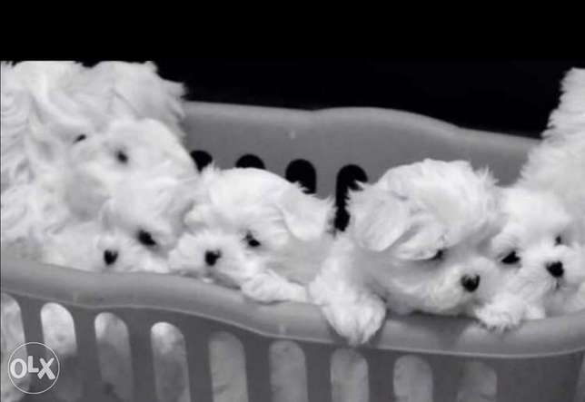 Mini maltese puppies with Passport and microchip