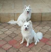 Awesome Grown Spitz
