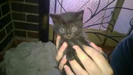 1 Male kittens for sale