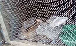 2 Bucks and 3 Does Rabbits and Rabbit Cage are Available in Ibadan