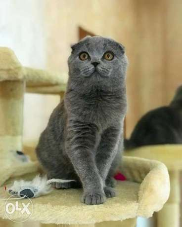 Imported Scottish fold kittens