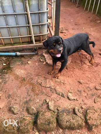 Pedigree Rottweiler puppies available Ugbowo - image 8