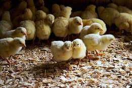 Selling chicks ,,, Day old chick at 100 ,one week at 120 ,two wks 150