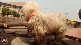 Imported Adult male Lhasa for sale