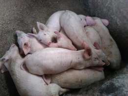 Large white' breed piglets for sale