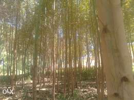 Eucalyptus trees for sale, suitable in building construction