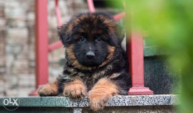 Fci pedigree imported german shepherd puppies.. Top quality