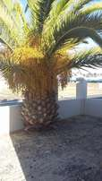 Palm Tree for Sale - R0.00