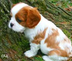 Cavalier King Charles with passport and microchip