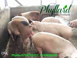 Pigs, Quality Duroc Boers ready to serve. Choose from 10