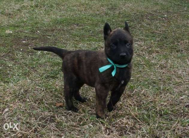Imported Malinois Puppies with Pedigree and microchip