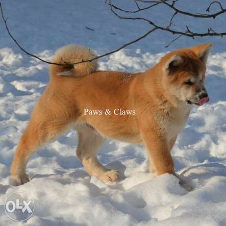 We bring to your attention puppies of the Japanese Akita Inu!