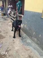 Black Boerboel Available for stud service / mating