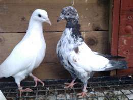 Fine quality kenyan pigeons for sale