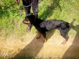 Rottweiler (Pure-breed 18-Months Old/Female)