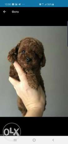 Top quality toy poodle puppies, imported with Pedigree,Males and femal