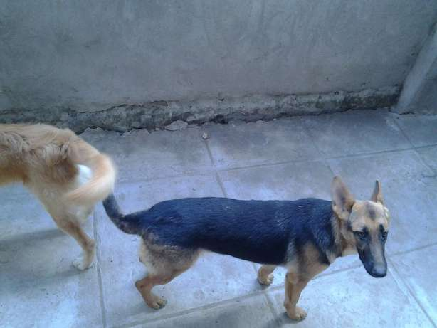 Mixed Breed German Shepherd Puppies Athi River Township - image 2