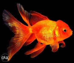 Exotic Fancy tail Goldfish (Oranda, Black moore and Calico goldfishes)