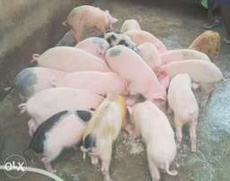 Pigs and Growers