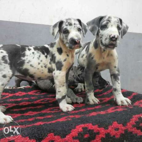 Female greatdane available Ikorodu - image 4