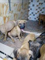 Male Boerboel Puppies
