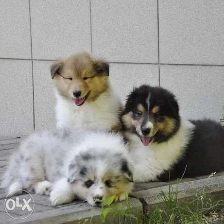 Availabile NOW Border Collie puppies