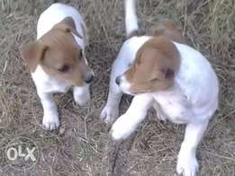 Jack Russells 8 w thorough pure breed short leg white and tan pups
