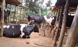 Freshian cow for sale