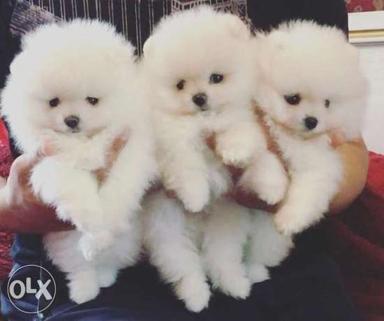 Pomeranian special offers only now