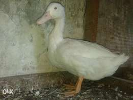 4months old mallard ducks for sale male n female
