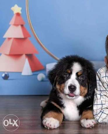 Amazing Quality Bernese mountain puppies From Ukraine