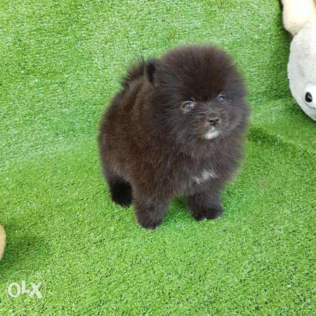 Quality Pomeranian Puppies for sale